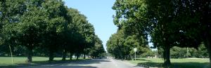 Magnolia Trees along Maybank Highway , James Island, SC