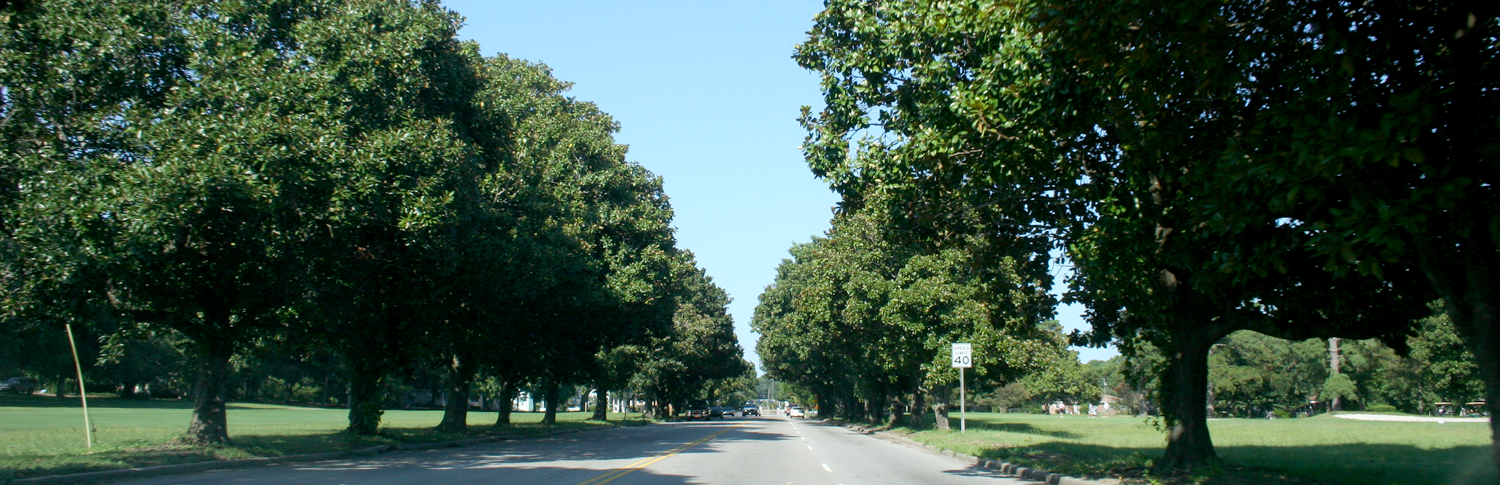 Magnolia Trees along Maybank Highway , James Island, SC