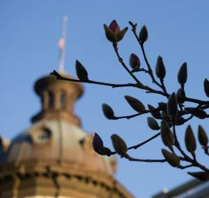Picture of flowering magnolia at the State House