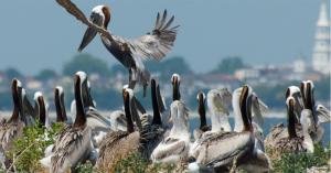 Pelicans at Crab Bank