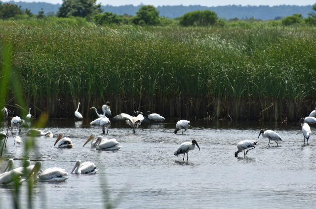 birds in a salt marsh